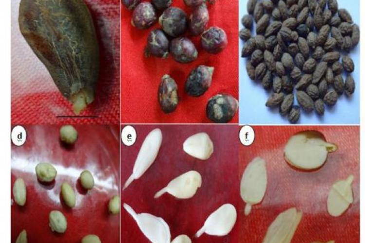 Seeds as Sources of Camptothecin