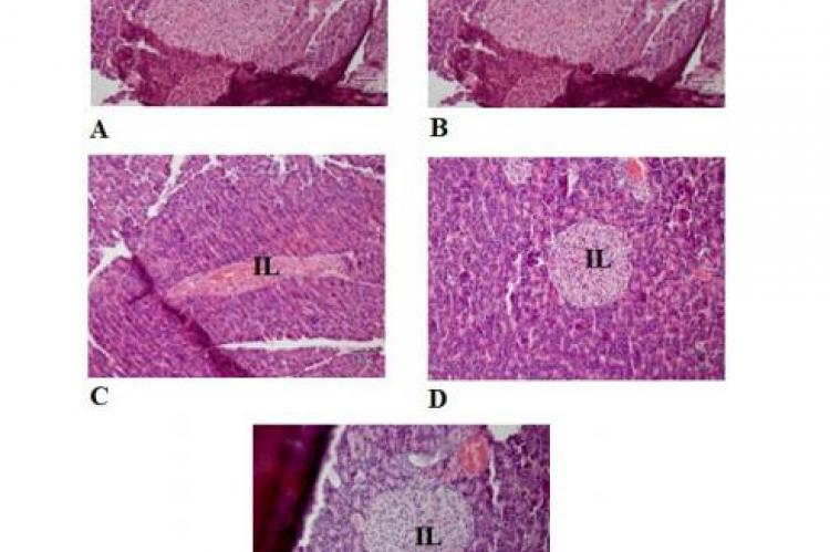 Histological illustration of rat pancreas stained with hematoxylin-eosin