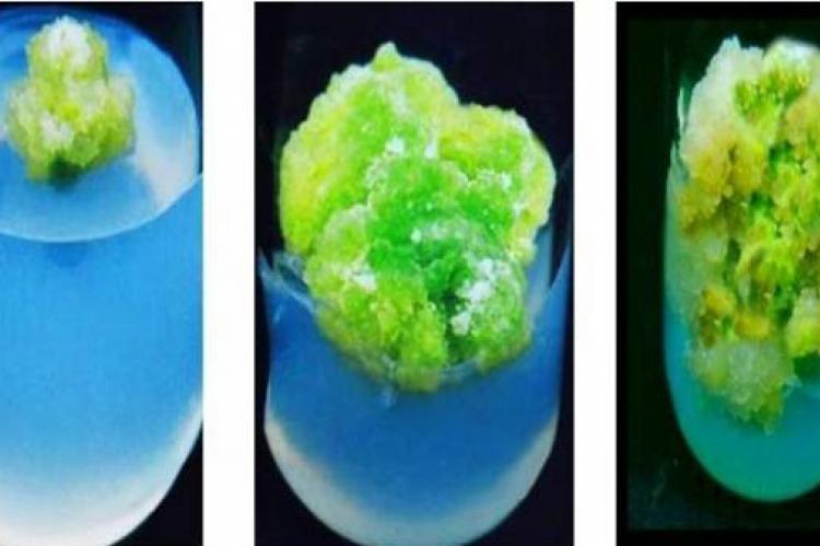 In vitro callus induction from leaf explants of C.pulcherima showing green creamy friable type