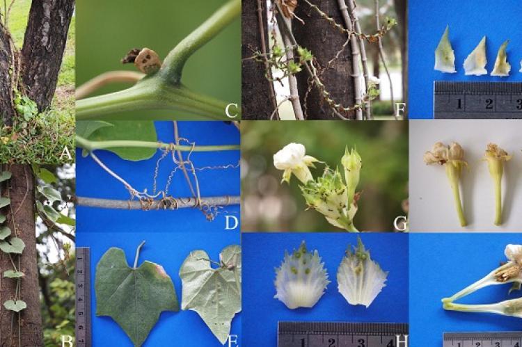 Trichosanthes tricuspidata subsp. rotundata var. longirachis