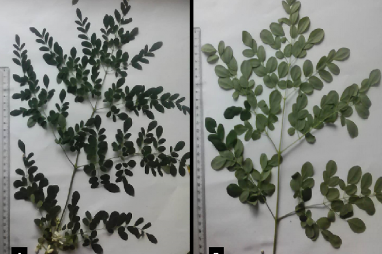 Upper (A) and lower (B) surfaces of M. oleifera leaves