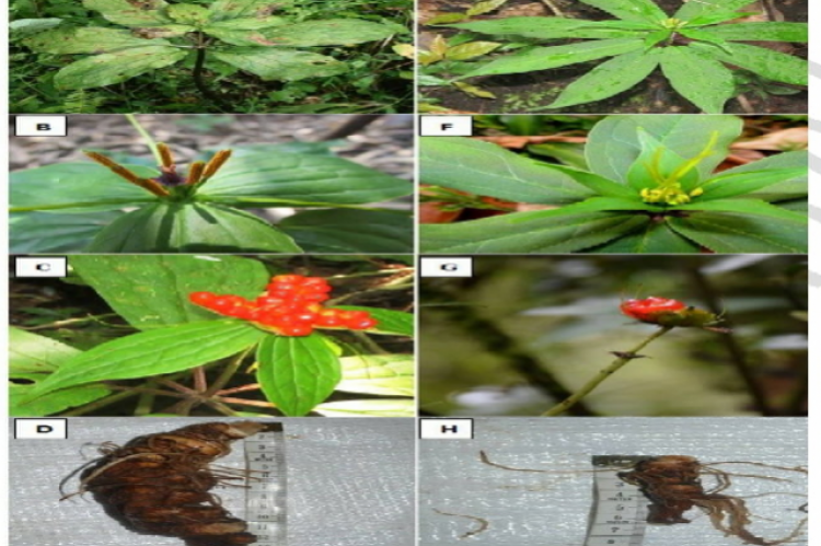 Morphological features of Paris polyphylla from Uttray-PPU (A, B, C and D depicting the plant, flower, fruit and rhizome respectively) and Paris polyphylla from Tholung-PPT (E, F, G and H depicting the plant, flower, fruit and rhizome respectively)