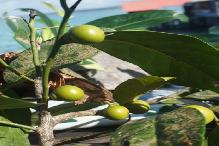 The plant of OKA 6