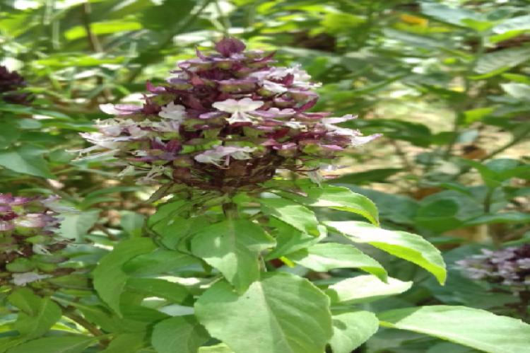 Ocimum basilicum (Iraqi growing).