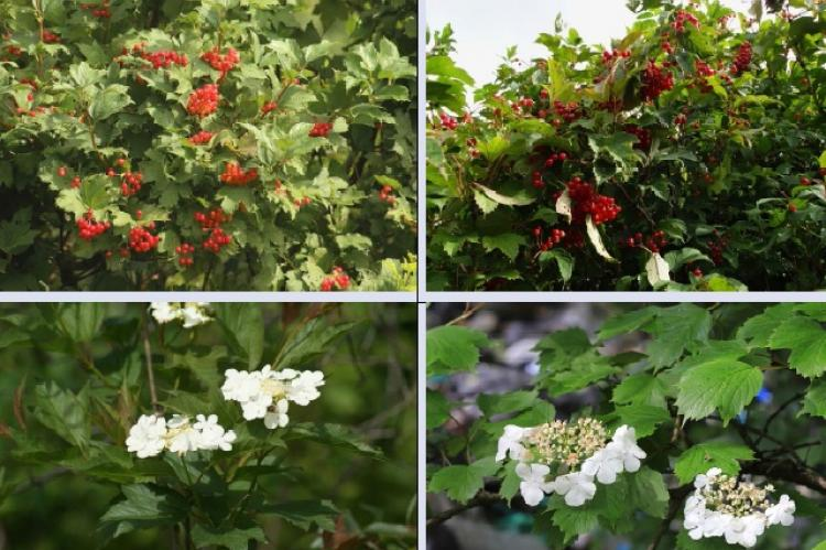 Guelder-rose (left,) Sargent's guelder-rose (right) in the flowering phase (bottom) and in the fruiting phase (top)