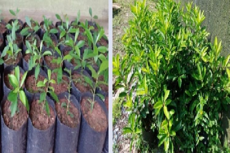 The sixth months of age Lampeni (Ardisia humilis Vahl.) at shedding house (left) and open air (right) location