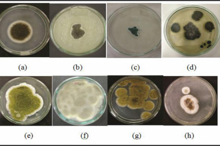Mold Isolates based on their morphology