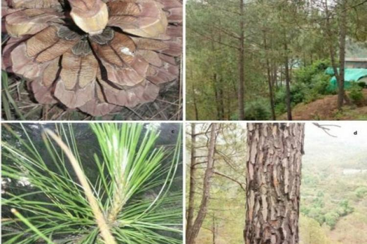 Pinus roxburghii (Chir Pine) a) Cone b) Tree c) Needles d) Trunk.