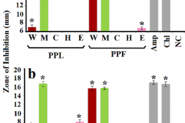 Antibacterial activity of P. pubescens (a) and P. triloculare (b) fruit and leaf extracts against P. mirabilis (ATCC: 21721) measured as zones of inhibition (mm). PP = P. pubescens; PT = P. triloculare; L = leaf; F = fruit; W = aqueous extract; M = methanolic extract; C = chloroform extract; H = hexane extract; E = ethyl acetate extract. Positive control = Amp (ampicillin 2μg) and Chl (chloramphenicol 10μg). Negative control (NC) = water. Results are expressed as mean zones of inhibition of at least six rep