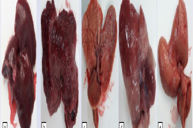 Macroscopic images of rat liver