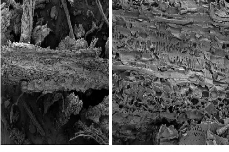 Microscopic of Faloak stems powder. A= Xylem, B= Parenchim