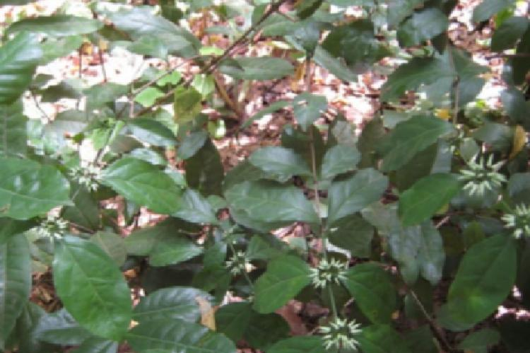 Photograph showing the whole plant and leaves of Psydrax horizontalis growing in Nsukka Habitat