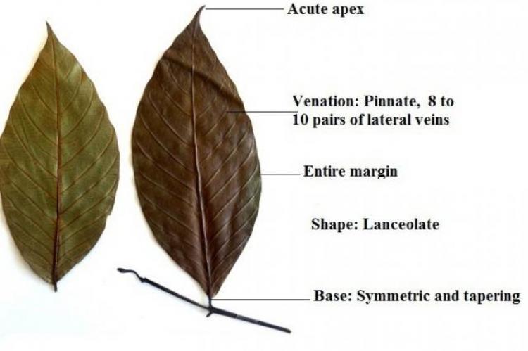 Uvaria narum (Duall) Wall leaf.