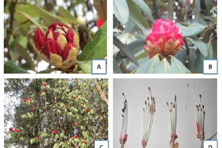 Morphological characteristics of R. arboreum (A, B: Flower; C: Tree, D: Reproductive organs of flower).