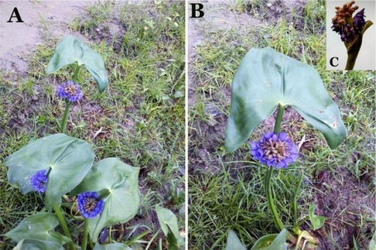 Macroscopy of M. hastata (L.) Solms. (A) Whole plant; (B) Leaf with inflorescence; (C) Inflorescence.