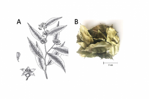 Macroscopic character of Aquilaria crassna A) Drawing of plant; 1 – a part of branch, 2 – flower, 3 – fruit and B) Crude drug (leaves).