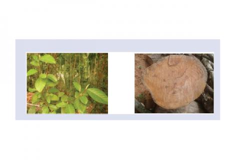 Habit of A. hirsutus Lam. 1B: Cross cut of the stem wood of A. hirsutus Lam
