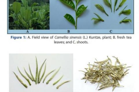 White Tea Leaf (C. sinensis)