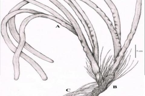 The macroscopical characteristics of fresh E. acoroides; Leaves (A), rhizome (B) and roots (C).