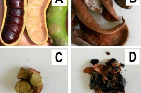 A) Fruits, B) Fruit shells, C) Seeds, D) Seed shells of Archidendron bubalinum.