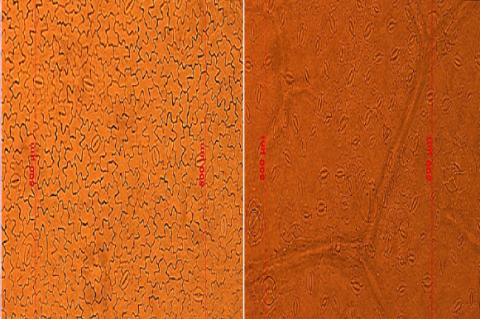 Light microscope photographs of stomata