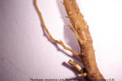 Plumbago zeylanica Linn. Root (stereo microscopic view x 0.8)