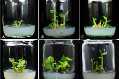 Multiple shoot formation of G. globulifera after eight weeks of cultivation on MS medium supplemented with plant growth regulators