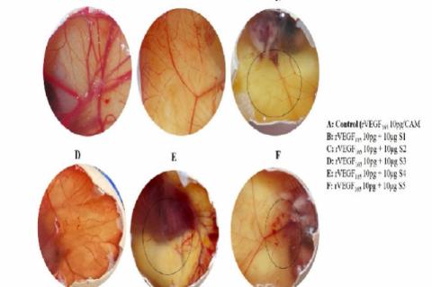 The anti- angiogenic activity of isolated crude phloem exudate