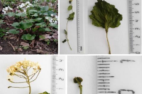 Pachyphragma macrophyllum (Hoffm.) N. Busch