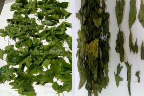 Mikania micrantha leaves. A: Fresh leaves. B: Simplicia leaves