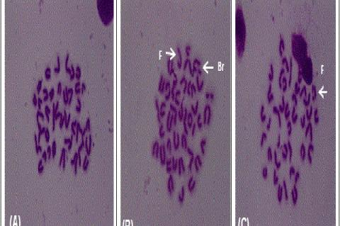 Chromosomal abnormalities in bone marrow cells in mice showing (A) normal, (B) fragment and break, and (C) fragment