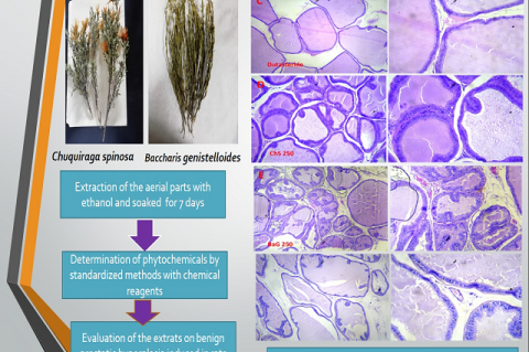 Protective Effect of the Ethanolic Extracts of Leaves of Chuquiraga spinosa Less and Baccharis genistelloides on Benign Prostatic Hyperplasia in Rats