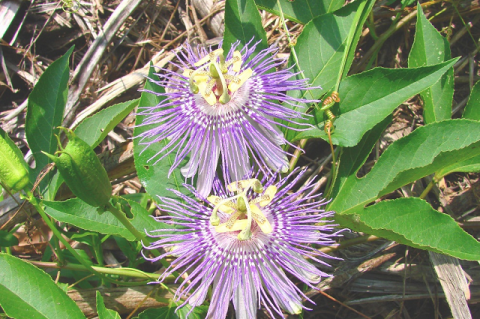 Purple passionflower (Passiflora incarnata L.).