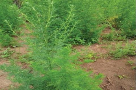 Artemisia annua L. whole plant