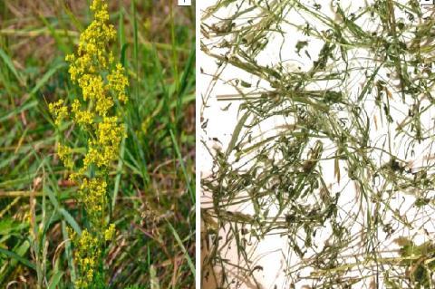 Lady's bedstraw (Galium verum L.): flowering plant (1), crude herbal drug (2)