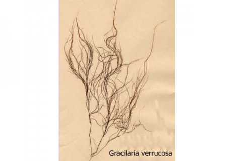 Figure 1: Morphology of Gracilaria verrucosa.