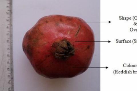 P. granatum fruit
