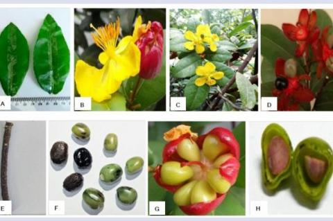 Ochna kirkii Oliv: Pharmacognostical Evaluation, Phytochemical Screening, and Total Phenolic Content