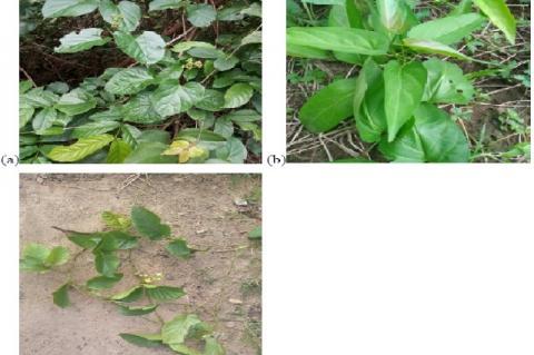 Three species of Apocynaceae. (a) Gongronema latifolium (b) Vincetoxicum rossicum (c) Marsdenia edulis