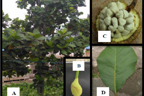 A. odoratissimus. A: Tree, B: Ovules, C: Fruit, D: Leaves