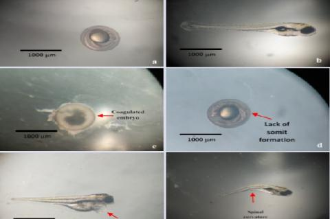 Examples of zebrafish conditions. Healthy: (a) negative control 24 hpf, (b) negative control 96 hpf, (c) Positive control (Dichloroaniline 4 mg/l), Characters appeared in the zebrafish embryo after 96 hpf (observation zebrafish embryo classification deemed dead according to the OECD, 2013), (d) 500 ppm 24 hpf (lack of somit formation), (e) 1000 ppm 96 hpf (pericardial edema), (f) 300 ppm 96 ppm (scoliosis)