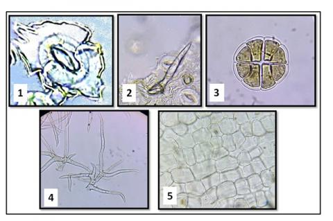 Illustration for microscopic examination of powdered Rosemary leaves. Lower epidermis with diacytic stomata (1); conical shaped covering trichomes (2); labiate type glandular trichome (3); branched covering trichomes (4); upper epidermis of the leaf (5).