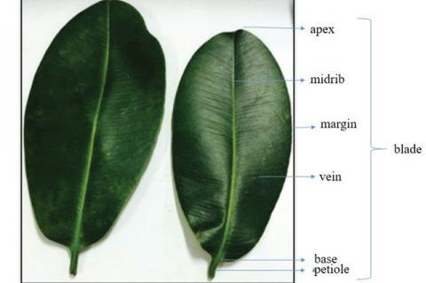 Macroscopic characteristics of G. latissima Miq. Leaves