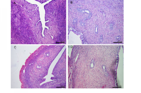 Representative photomicrographs of uterine histology. A = Ovariectomized rats;