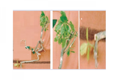 Talinum portulacifolium plant and leaves.