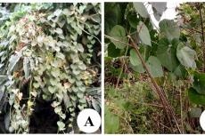 T. cordifolia and P. daemia
