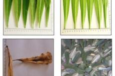 Macroscopic photographs of E. neriifolia leaves