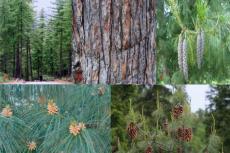 Pinus wallichiana A.B. Jacks: (A) Full grown trees in natural habitat