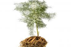 Asparagus racemosus plant (Shatavari)
