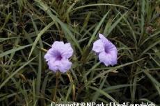 Ruelliabrittonianaflowers14